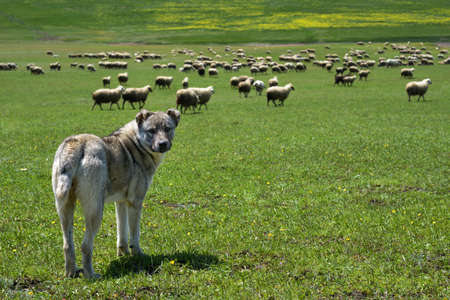 herding dog: herding dog guarding a large flock of sheep