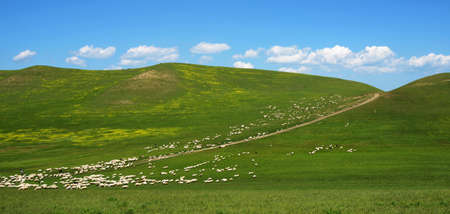 herdsman: a large flock of sheep grazing on the hill Stock Photo