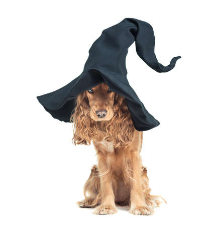 cap hunting dog: red dog sitting in a witches hat and looks impressive Foto de archivo