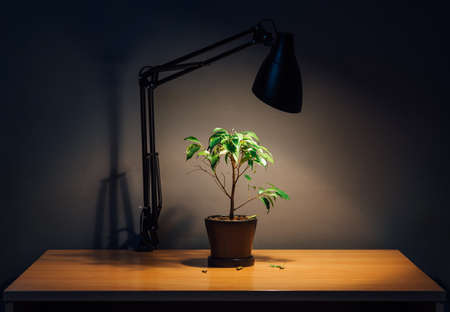 doldrums: ficus plant in a pot is on the table under the light of a lamp in the dark, the leaves fall, depressing atmosphere. Stock Photo