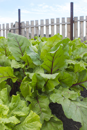 Beet leaves and green lettuce leaves. The harvest in the garden Stock Photo