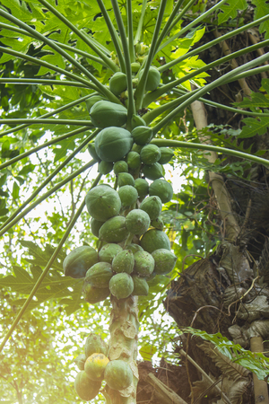 Cluster of Coconut (Cocos nucifera) - a member of the family Arecaceae (palm family) and the only species on the genus Cocos