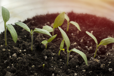 Green shoots growing from seeds. Spring symbol, the concept of a new life. Pepper sprouts