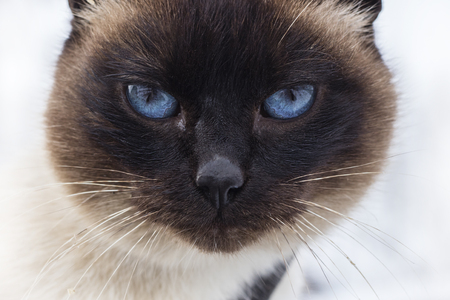Portrait of a gray-brown cat with blue eyes, close-up