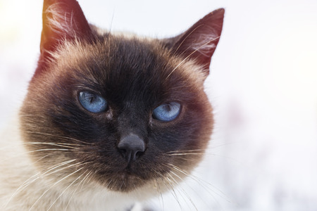 A beautiful gray-brown cat with blue eyes, against the background of snow. Copy space