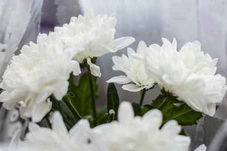 Bouquet of dahlias white. Decorative white Onesta