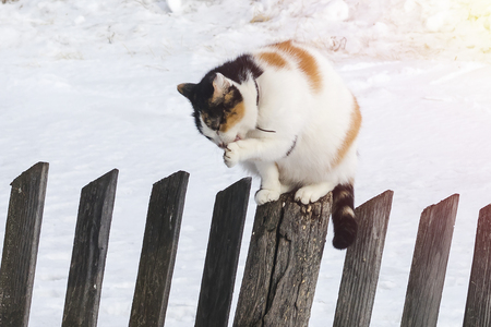 The cat sits on an old fence and washes its paws. Spring day