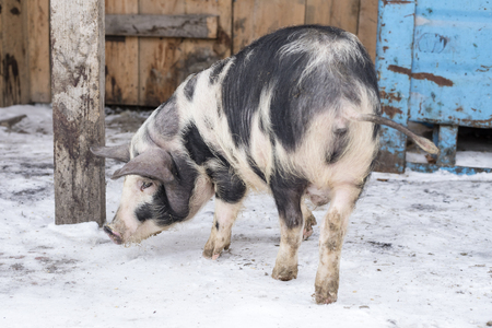 The pig walks on the farm. Winter day
