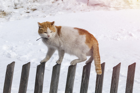 The cat walks the old fence. Spring sunny day. Against the background of snow Banco de Imagens