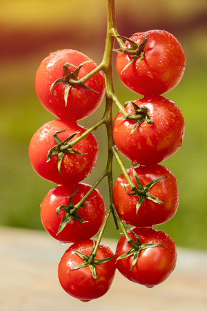 A ripe tomato branch in your factory, in a greenhouse. Water drops Imagens