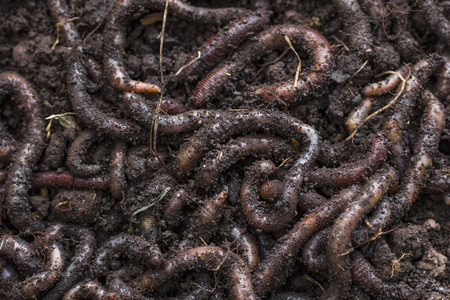 Earthworm, close-up. Background, texture Stock Photo
