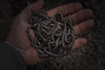 Earthworm on a farm hand. Their digestive processes turn organic matter into soil, earthworms and a healthier soil suitable for planting