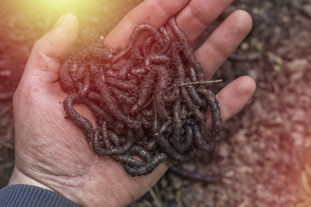 Earthworm in the hand of a man. Fish bait
