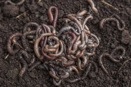Earthworm or night caterpillar on the ground. Their digestive processes turn organic matter into soil, earthworms and a healthier one