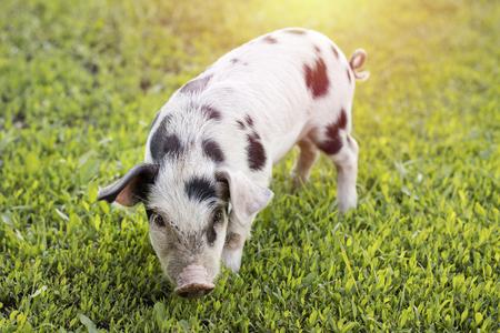 Cerdito con manchas negras caminando sobre la hierba verde