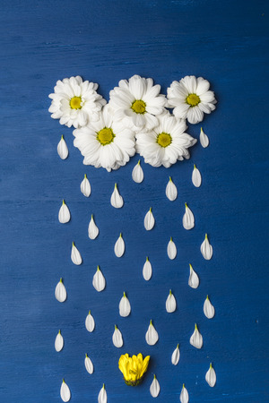 White chrysanthemums in the form of clouds, and petals - drops of rain water the flower. Spring or summer background with copy space for text