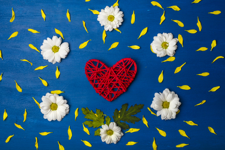 Beautiful frame of white chrysanthemums and yellow petals with a red heart in the center on a blue background. Background, texture