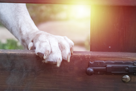 The white paw of the dog stands on the fence. Close-up