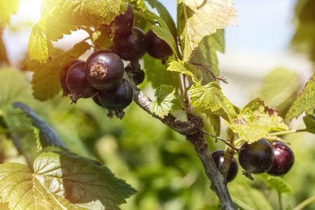 Fresh ripe blackcurrant fruits and green leaves on currant branch and the rays of the sun. Copy space