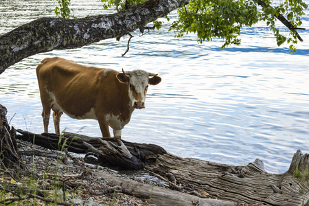 brown cow stands on the shore of Lake Teletskoye under a tree. Copy space for your text