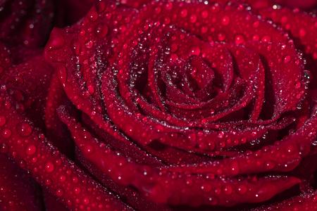 Hermosa flor color de rosa con gotas de rocío. Fondo