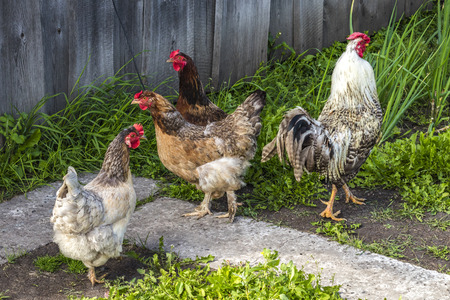 Poultry, chickens and rooster walk in the street in summer