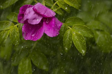 wild rose flower under raindrops in the garden. copy space