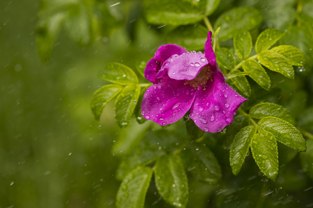 raindrops on a flowered wild rose. copy space