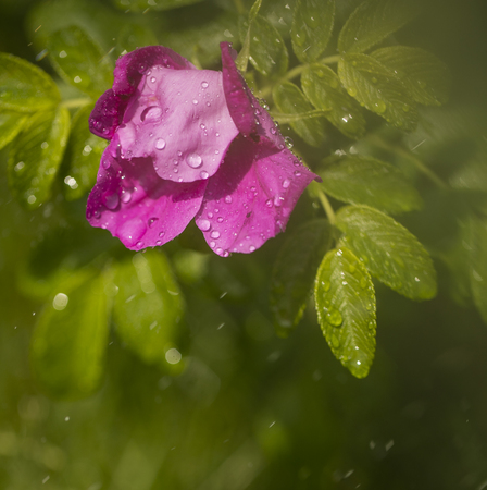 drops of water on the flower of wild rose after a shower. sunny day toning. instagram Stock Photo