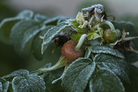 fresh rose hips are covered with frost after the first frost, copy space