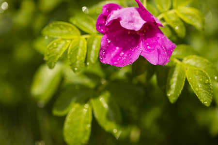 raindrops on a wild rose flower after a rainstorm. sunny day copy space