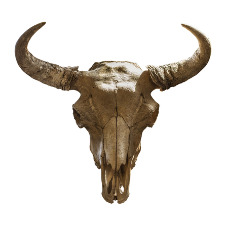 skull bison head on a white background. Isolated object