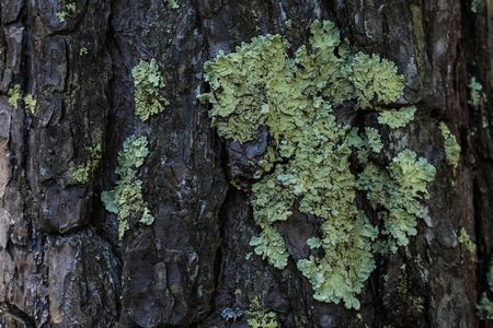 Lichen on the bark of a tree. Lichen grows on birch. copy space