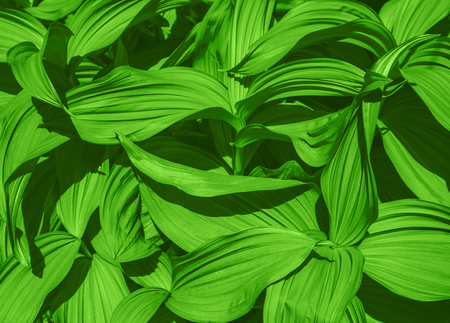 Green leaves texture background, False Hellebore toxic plant