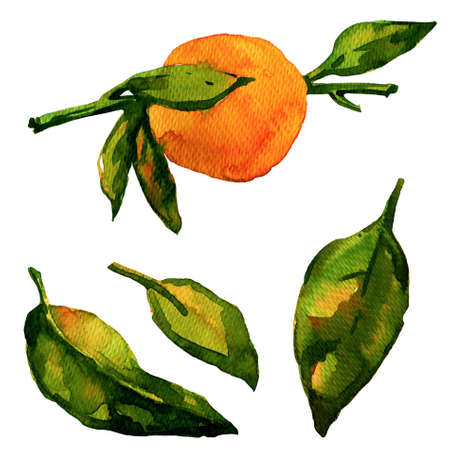 aquarelle painting art: Watercolor Tangerine on White Background