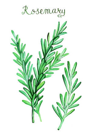 rosemary: Rosemary sprouts watercolor painting. Hand drawn  illustration. Stock Photo