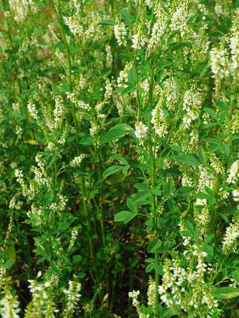Melilotus albus flowers on meadow. Medicinal plant: White sweet clover Stock Photo