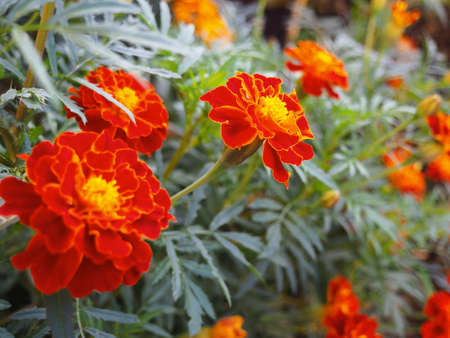 Summer sunny day background with blooming red marigold flowers.