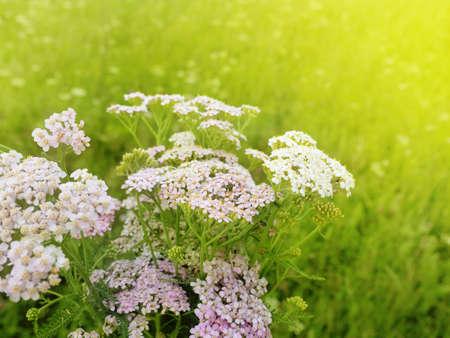 Milfoil flowers in sunny meadow macro photo. Medical herbs: Achillea millefolium, yarrow ,or nosebleed plant