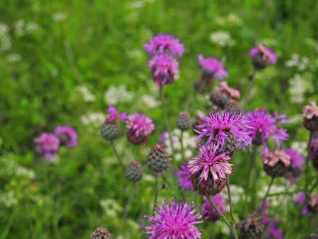 Brown knapweed in the meadow. Medical plant Centaurea jacea. Floral background Imagens