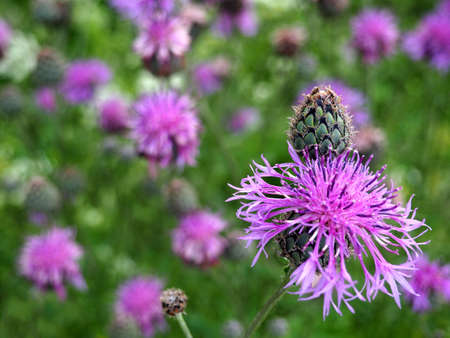 Brown knapweed in the meadow. Medical plant Centaurea jacea. Floral background Фото со стока