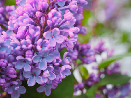 Macro image of spring lilac purple flowers. Abstract spring floral background