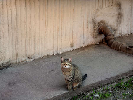 Tabby stray cat sitting by the gray wall Stock Photo