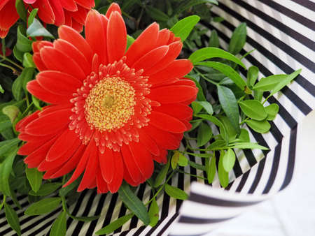 Red gerbera flowers bouquet decorated with green leaves and stripped paper. Floral background