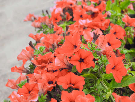 Pink petunia flowers bloom in the borders or garden. Floral background