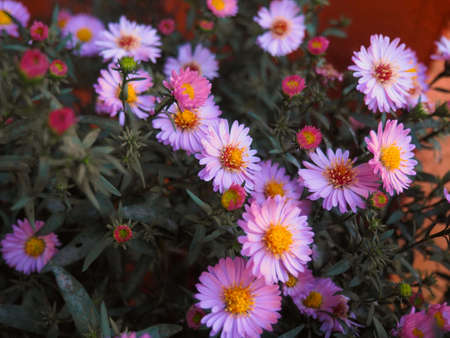 Autumn Violet aster flowers over green background