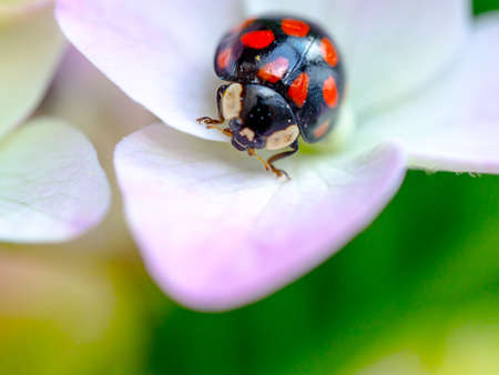 Lady bug resting on pink flowers of hydrangea. Close up view, selective focus image. Floral greeting card.