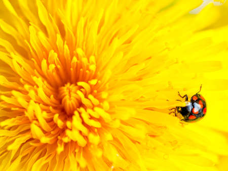 Beautiful Yellow Dandelion with lady bug Close Up Macro image. Natural summer tine background.