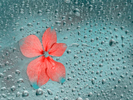 Purple hydrangea flower on wet window glass with raindrops. Concept of rainy weather, seasons. Abstract background 免版税图像