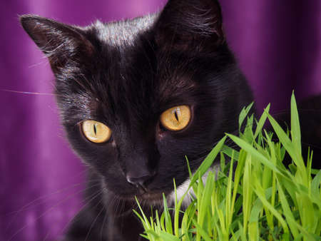 Black catwith yellow eyes eat fresh green grass. Domestic pets care